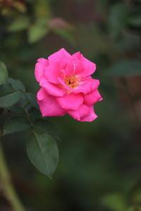 バラの品種「うらら」再び・・・ - 平凡な日々の中で