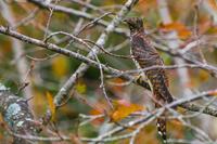 ツツドリ赤型 - 野鳥などの撮影記録