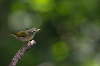 秋の渡りに(センダイムシクイ) - 野鳥などの撮影記録