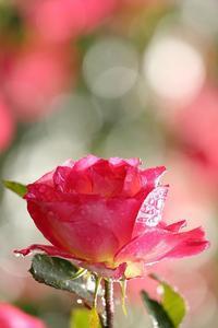 ボケるなら可愛いくボケましょ秋のバラ - 旅プラスの日記