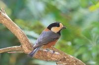 朝の定期便 - TACOSの野鳥日記