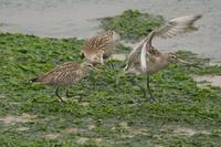 オオソリハシシギの争い - 近隣の野鳥を探して2