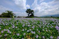 奈良橿原市本薬師寺跡のホテイアオイ - ぴんぼけふぉとぶろぐ2