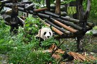2019年9月成都大熊猫繁殖研究基地その14陽たん - ハープの徒然草