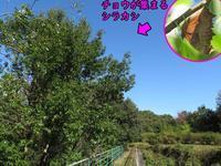 キタテハがシラカシの枝を舐める - 秩父の蝶