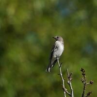 まだ帰らないで良いの?エゾビタキKGY - 野鳥観察記録