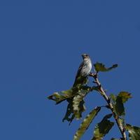 久し振りの秋空に気持ち良い!エゾビタキKGY - 野鳥観察記録