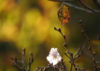 11月の桜 - monn-sann