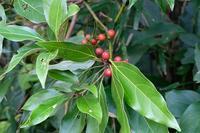 ■赤い実 3種19.11.1(シロダモ、百両、十両) - 舞岡公園の自然2