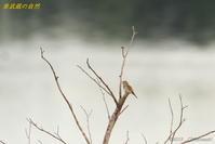 湿原のアリスイ - 奥武蔵の自然