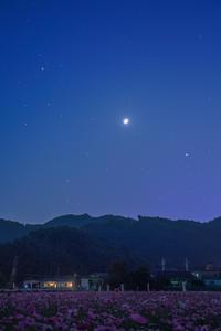 夜のコスモス畑 - やきつべふぉと