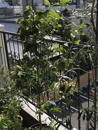 ベランダの植物達、それぞれの収穫。 - 青山ぱせり日記