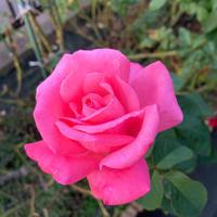 庭の薔薇[2019/11/02] - 春&ナナと庭の薔薇