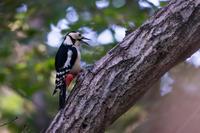 おかえりなさい(アカゲラ) - 野鳥などの撮影記録
