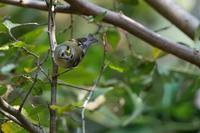 キクイタダキ入りました(キクイタダキ) - 野鳥などの撮影記録