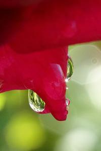 秋バラのネックレスは雨雫(バラの雨雫だけを撮った写真) - 旅プラスの日記