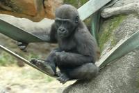 上野動物園のゴリラ家族に、事件発生(その続き) - 旅プラスの日記