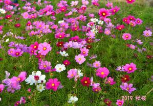 2019 秋桜 - 一瞬の感動を求めて(Photoblog)