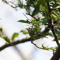 水元公園のキクイタダキMMK - 野鳥観察記録