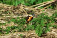 N川カワセミ、ほんとホバリングが好きなこの娘は今日も何度も何度も。 - 小川の野鳥達