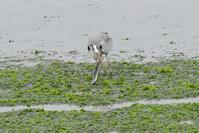 グルメなアオサギ - 近隣の野鳥を探して2