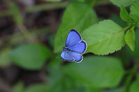ヤクシマルリシジミ - Lycaenidaeの蝶鳥撮影日記