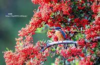 ピラカンサにカワセミ - azure 自然散策 ~自然・季節・野鳥~
