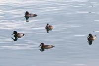 スズガモ漁港の湾内で - 今日の鳥さんⅡ