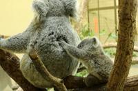 僕はコアラの赤ちゃん「ニシチ」、生れて9ヶ月になりました。 - 旅プラスの日記