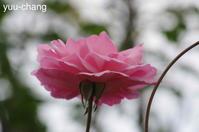 庭の秋バラ - 下手糞でも楽しめりゃいいじゃんPHOTO BLOG