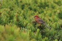 懐かしのギンザンマシコ - 野鳥公園