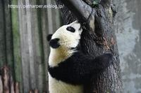 2019年9月成都大熊猫繁殖研究基地その17木から降りれない潤九 - ハープの徒然草