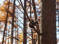 秋深まり、カラマツの紅葉とエゾリス君、庭は黄金色の絨毯に! - 十勝・中札内村「森の中の日記」~café&宿カンタベリー~
