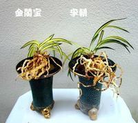秋植え替えNo.1988 - 東洋蘭風来記奥部屋