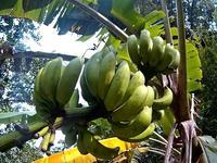 島バナナ&島みかん&キャッサバ - チルチルCafe&野遊び