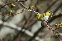 今シーズン初(マヒワ) - 野鳥などの撮影記録