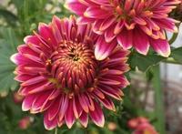 菊とバラ - ひとり言