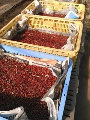 小豆収穫 -