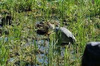 ■アオサギ オオカマキリを喰う19.11.7 - 舞岡公園の自然2