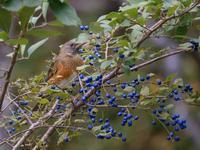 サワフタギの実とアカハラ・キビタキたち - トドの野鳥日記