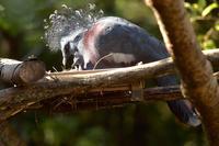 オウギバトのヒナ(ふ化後2週間) - 動物園へ行こう