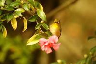 山茶花とメジロ - 風見鶏日記