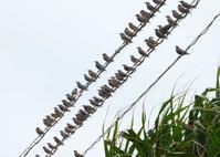 八重山諸島~探鳥~与那国島編 ⑧ - なんでもブログ