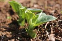 春の収穫に向けて、ゆっくり準備が進んでます。 - 週刊「目指せ自然農で自給自足」