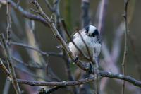 梅林で(エナガ) - 野鳥などの撮影記録