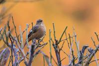 今シーズン初(ジョウビタキ♀) - 野鳥などの撮影記録
