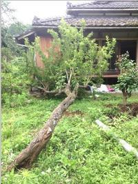 すももの木が倒れて手当&あわてて収穫した話 - 古民家再生できるかな