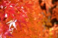 紅葉のグラデーション - ハーブガーデン便り