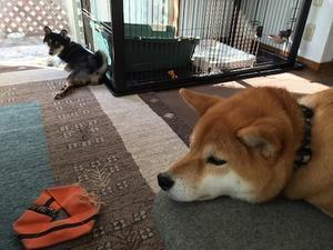 譲る犬 - アトリエkotori*のほほん柴犬日和