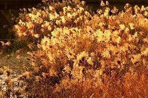 葦染まる - 幻に魅せられて…